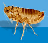 Common Canine Flea